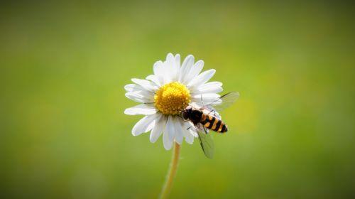 daisy spring harbinger of spring