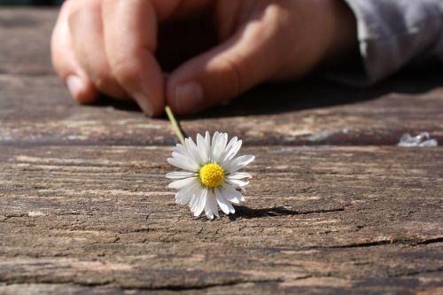 daisy flower hand