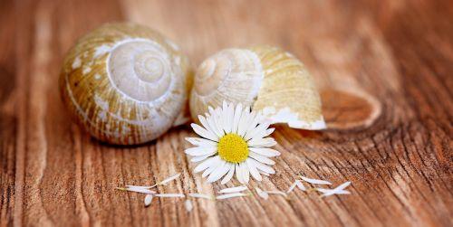 Daisy, aštraus gėlė, žiedas, žydėti, geltonai baltos spalvos, sraigės apvalkalai, pora, tuščia, tuščia sraigė, mediena, Uždaryti