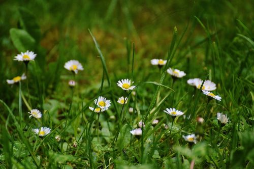 daisy meadow garden