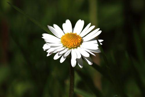 Daisy,žiedas,žydėti,gėlė,žydėti,pieva,balta,geltona,pavasaris,Uždaryti,laukinės gėlės