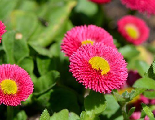 daisy spring flower blossom