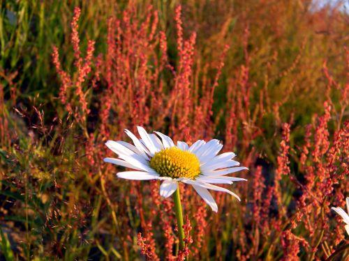 Daisy,laukas,laukinės žolelės,laukinės gėlės,lauko gėlės,pieva,žydėti,augalas,vasara,gėlė,Iš arti,šviesus,makro,žiedlapis,diena,tuti,vasaros gėlės,gamta,gėlės,baltos gėlės,baltos dainos,geltonas centras,saulėta diena