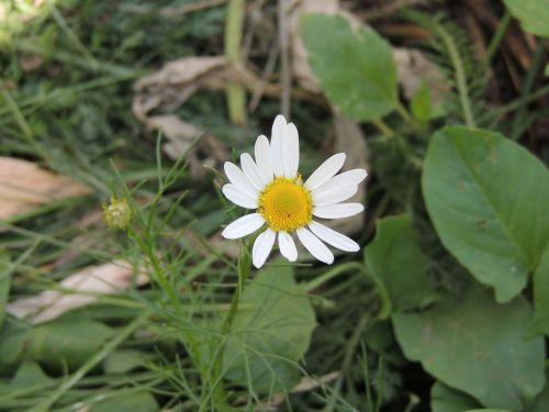 daisy flower chamomile
