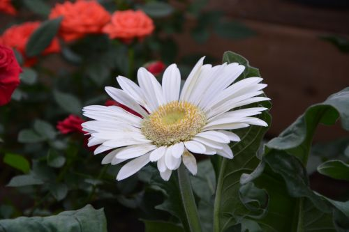 daisy flower white flower petals