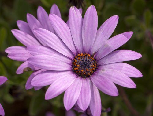 Daisy Flower Purple