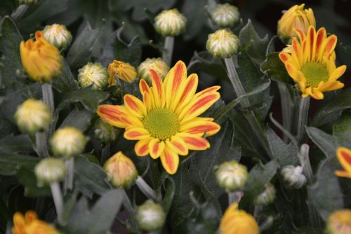 daisy flower yellow orange buttons flowering plant