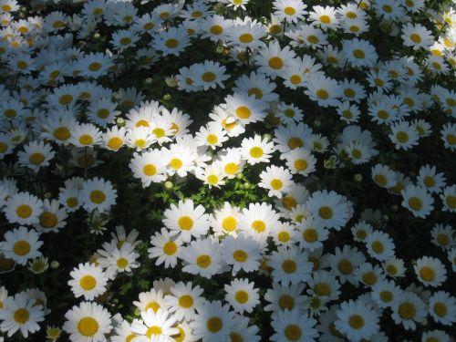 daisy margaret light shadow