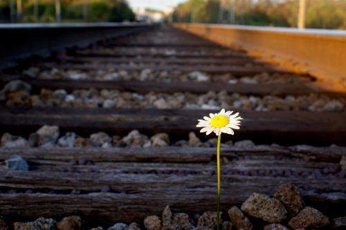 Daisy On Railroad Track