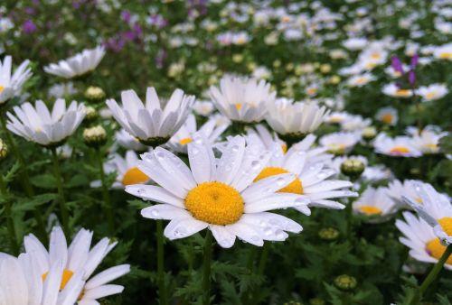 daisy rain drop of water