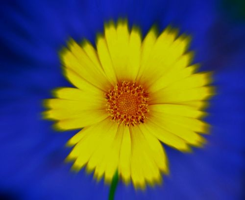 Daisy Zoom With Blue Background