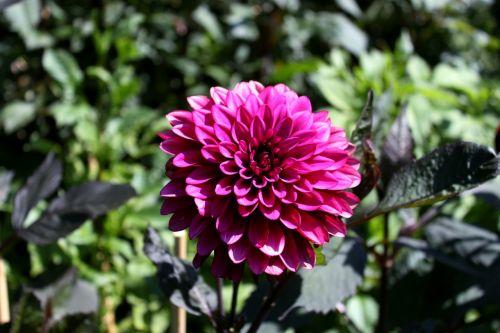 dalia flower botanical
