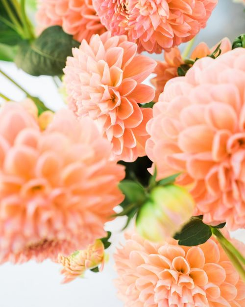 dalia flowers the petals