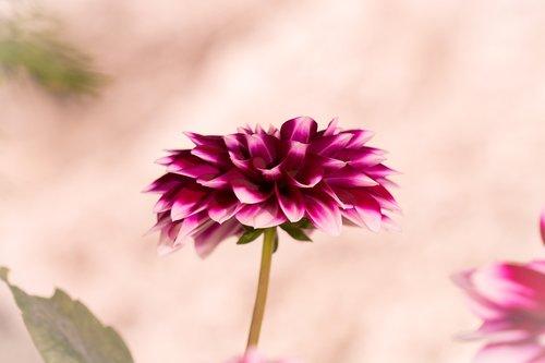 dalia  raghavendra  flower