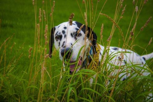 dalmatian  hiding  play fight