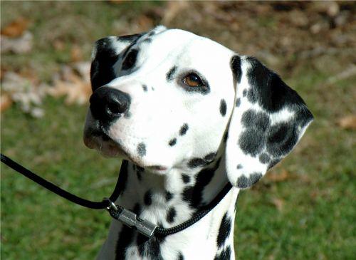 dalmatian canine dog