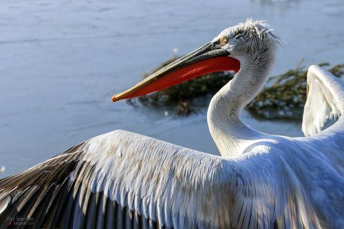 dalmatian pelican pelican waterfowl