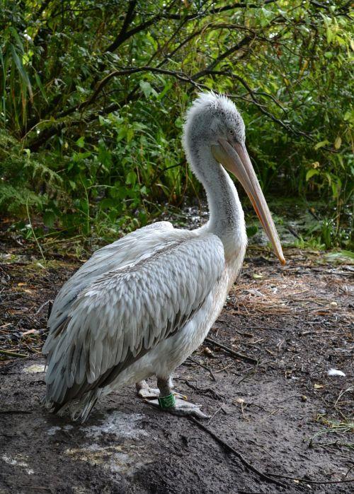 dalmatian pelican pelican bird