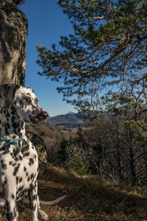 dalmatians mountain nockstein