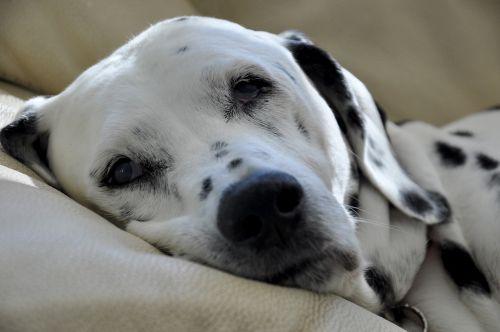 dalmatians dog stains