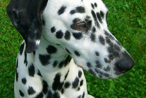 dalmatians dog purebred dog
