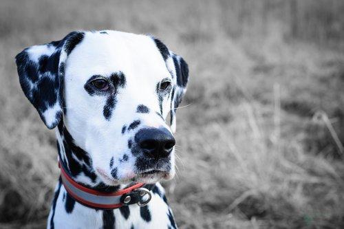 dalmatians  dog  portrait