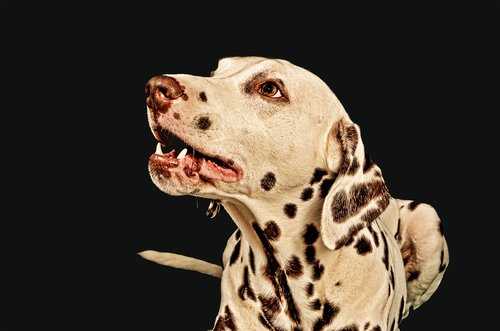 dalmatians  dog  male