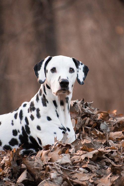 dalmatians  dog  animal