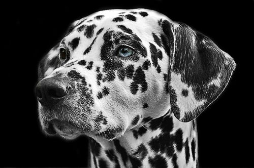 dalmatians dog animal