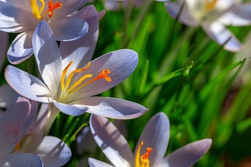 dalmatians crocus  crocus  flowers