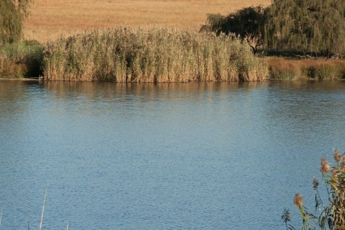 Dam With Bulrushes