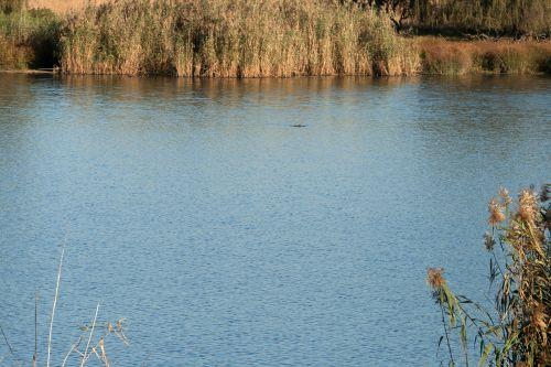 Dam With Reeds
