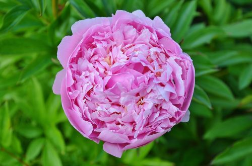 damascena damask flowers