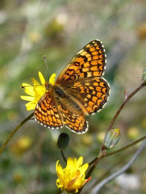 damero knapweed orange butterfly melita phoebe