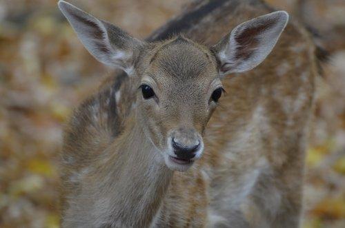 damm wild  roe deer  wild