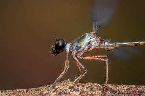 damselfly insect odonata