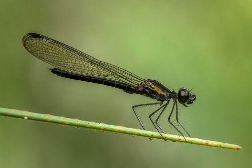 damselfly odonata dragonfly