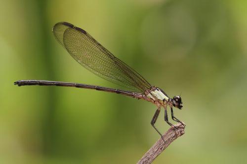 damselfly odonata insect