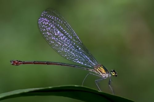 damselfly odonata common flashwing