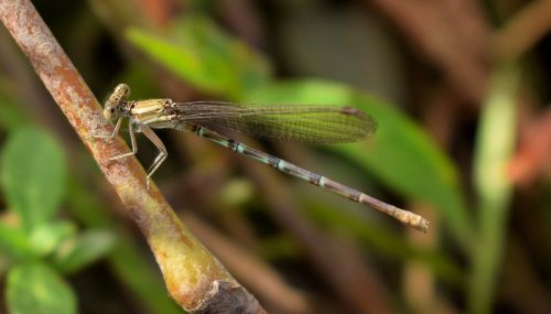 damselfly insect insectoid