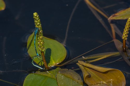 damselfly  common blue  insect
