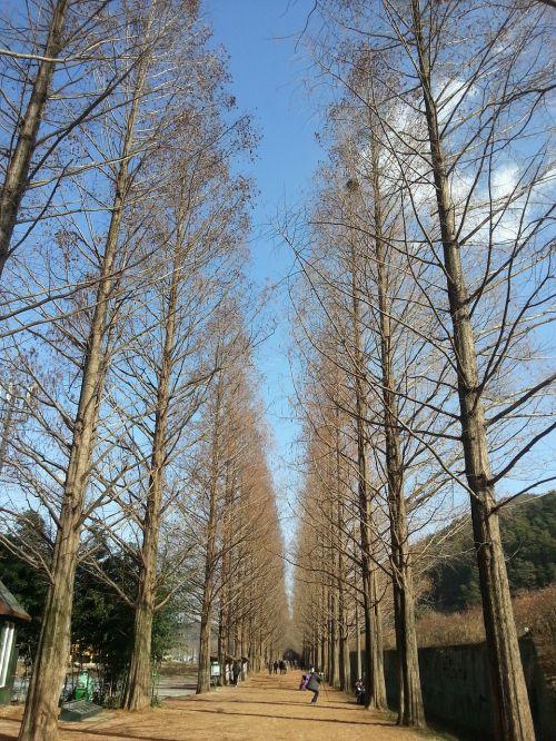 damyang winter sky meta sequoia