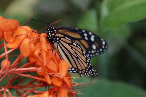 danaus plexippus butterfly canary islands