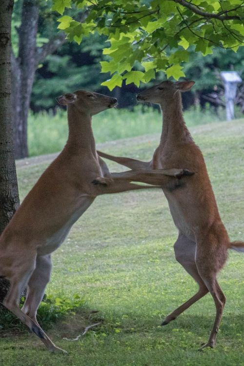 dancing does deer