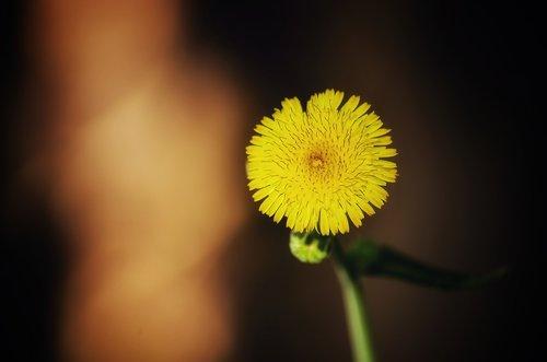 dandelio  flower  plant