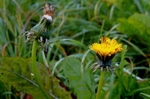 dandelion composites ordinary