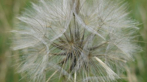 dandelion nature plant