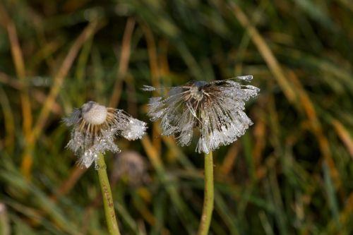 dandelion morgenstimmung drop of water