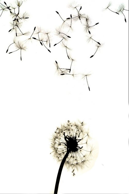 dandelion contrast high contrast