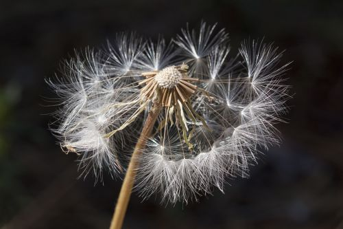 dandelion weed nature
